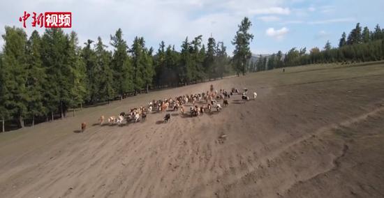 新疆阿勒泰千里牧道牛羊转场