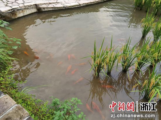 稻田中的鱼  周孙榆 摄