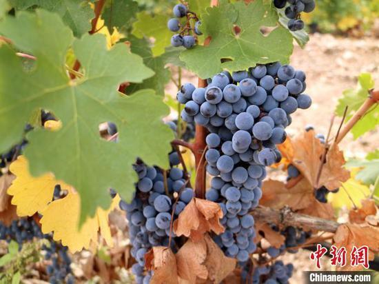 走进新疆焉耆葡萄酒庄 看酿酒葡萄的科学种植