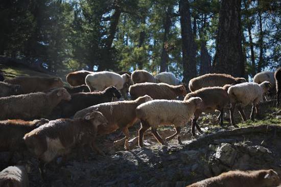 """""""走的是黄金道,吃的是中草药,喝的是矿泉水"""",这是人们对阿尔泰山放牧牛羊生存环境的形象描述。 (张旭茗摄)"""