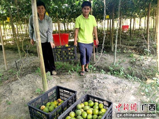 贺州昭平县走马镇东坪村罗汉果丰收 农户致富有奔头