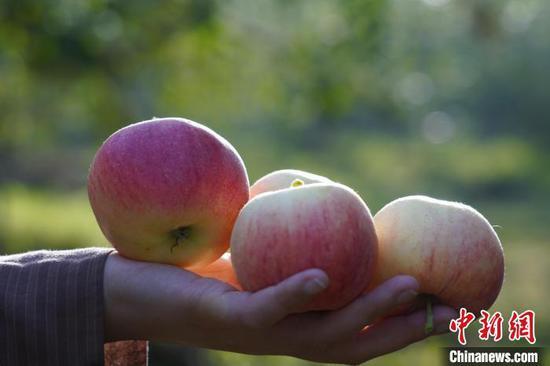 新疆阿克苏:一年好景已至 苹果红枣挂满树