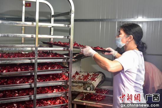 广西柳州洛神花丰收 村民满载而归