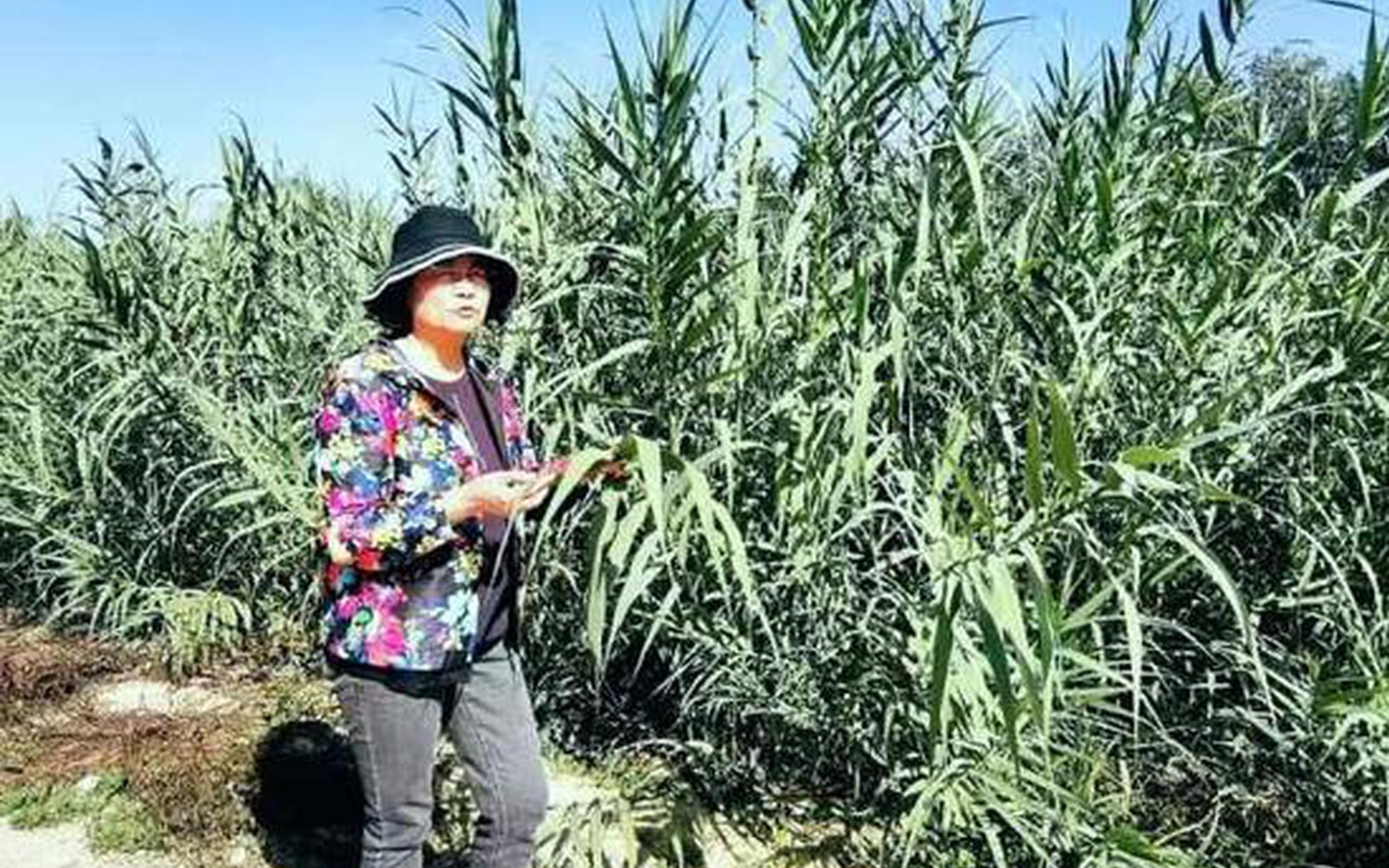 """畝產10噸!寧夏農科院這個優質項目正在尋找""""婆家""""!"""