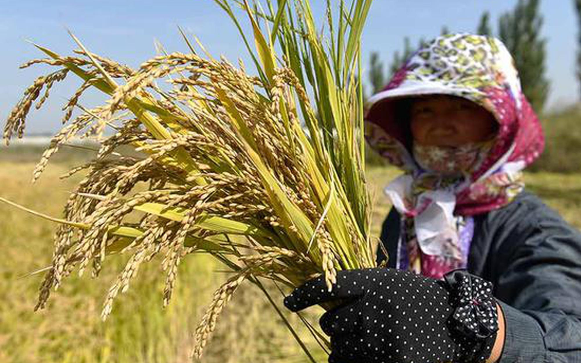 不懼鹽堿的寧粳56號水稻多省區推廣