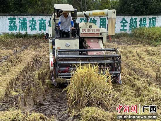 广西荔浦万亩水稻全部机收
