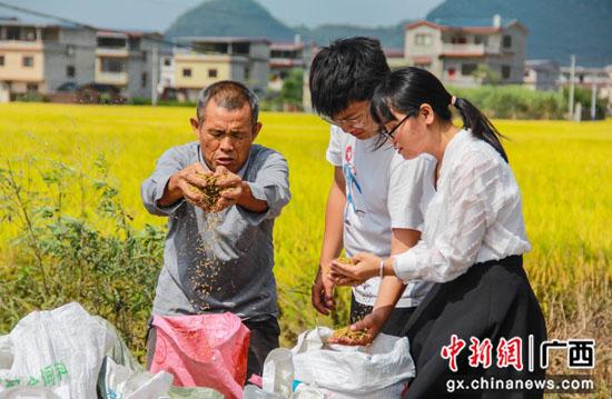广西临桂纪检干部走进田间地头护航粮食秋收