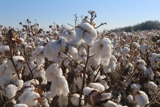 二二二团5万余亩棉花机械采收工作有序开展