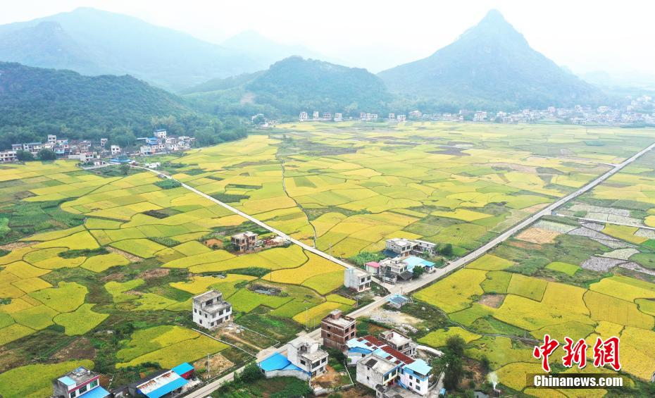 广西柳州深秋稻熟 遍地金黄如画卷