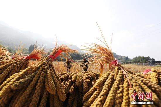 贵州江口:小米获丰收农民笑开颜