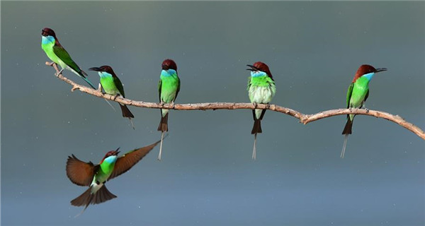 Blue-throated bee-eaters seen in Fujian