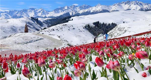 Tulips blooming in snow at Jiangbulake scenery spot in Xinjiang