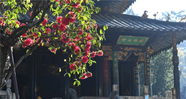Old tree blooms in Yunnan temple