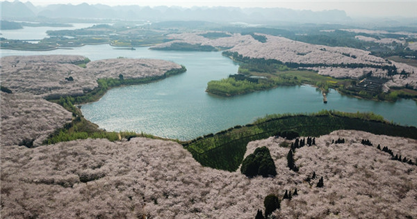 Blooming cherry blossoms in Gui