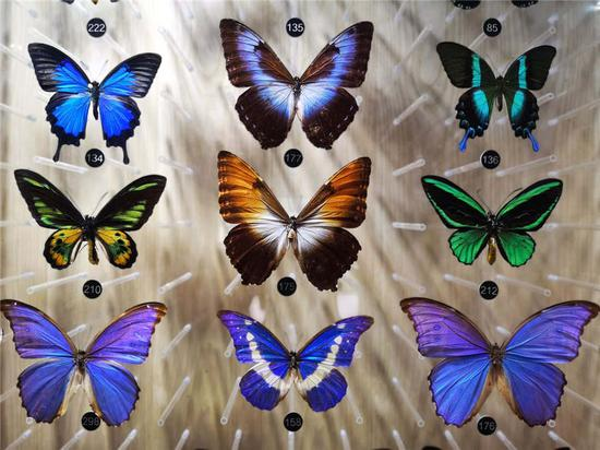 Museum in Nanjing dedicated to dying butterfly species