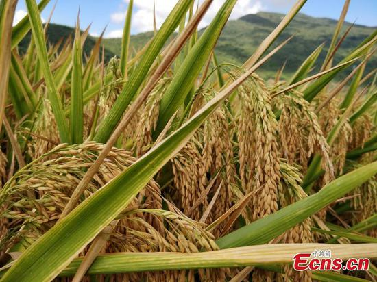 Rice variety developed by China's 'father of hybrid rice' sets record in Hainan